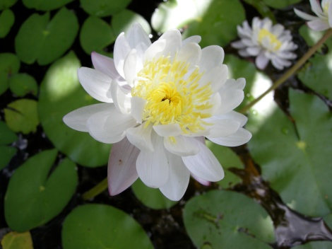 Yoga Nature_Kakadu Waterlily